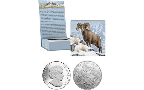 canada-bighorn-sheep-silver