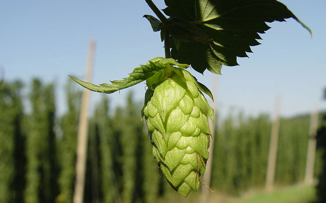 This is a flower of the hops plant. It looks a bit like a green pinecone. The hops are dried and used as an ingredient in beer making.