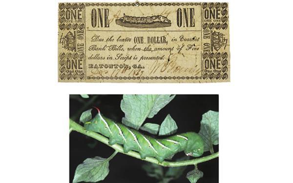 ha-tobacco-hornworm-note_merged