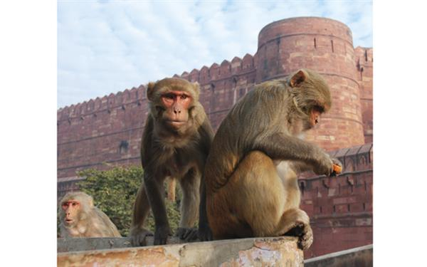 macaque_india_4
